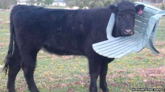A fashionable cow